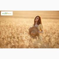 Озимая пшеница Шестопаловка, семена (1-я репродукция ) урожай 2021 г