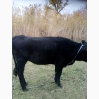 Комбинат проводит закупку быков коров в Сумской обл