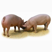 Племінні свині, кнурі
