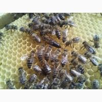 Пчеломатка, матки Украинская Степная 100 % Плодные