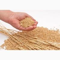 Закупаем влажную кукурузу, фуражную пшеницу, сою, подсолнечник