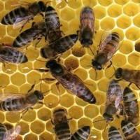 Бджоломатки Карпатської породи вучківський Типу 2019 р