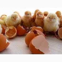 Инкубационное Яйцо Мастер Грей, Редбро, Фокси Чик, Испанка