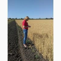 Семена озимой пшеницы Ампер елита