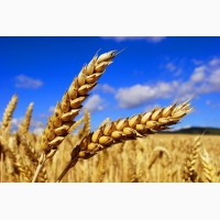 Купим пшеницу 1-2-3кл