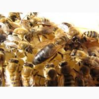 Пчелиные матки из Закарпатской обл. 2019г. Карпатка, Плодные