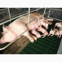 Реконструкція та будівництво свинокомплексів