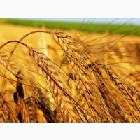 Куплю пшеницу от 300т