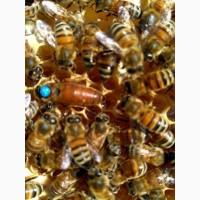 Пчелиные матки из Закарпатской обл. 2019г. Плодная Карпатка