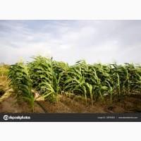 Закупим кукурузу по всей Украине