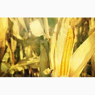 Закупим кукурузу (база)
