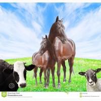 Закупаем коров, бычков, лошадей. Дорого
