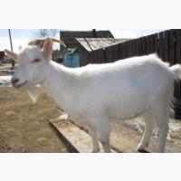 Козли продам козли
