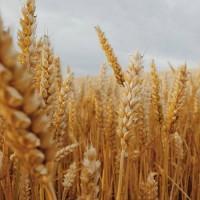 Пшениця Шпаловка 1 Репродукция и Элита
