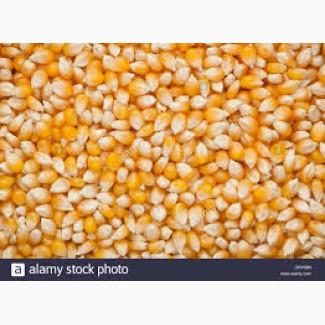 Покупаю кукурузу опт