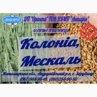 Озима пшениця Колоніа, Мескаль