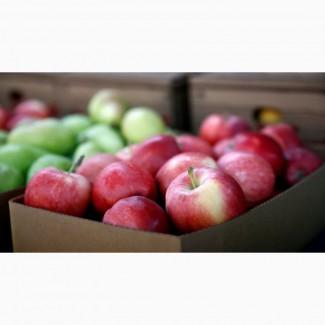 Куплю яблоки у населения и заготовителей