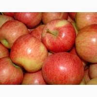 Продам оптом яблука, сорт Гала
