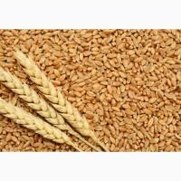 Закупаем пшеницу 2 кл, 3 кл, фураж