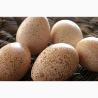 Индюшиное Инкубационное Яйцо БЮТ 8, Белая Широкогрудая
