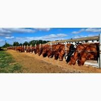 Продам корів та теличек Волинсько-мясної породи