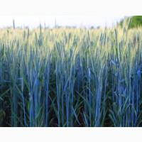 Продам насіння озимої пшениці - Сталева