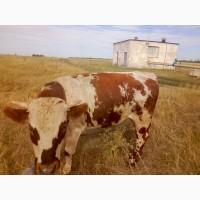 Мясокомбинат покупает у населения коров, Быков, телек, Баранов, лошадей