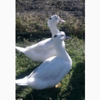 Закордонні інкубаційні яйця качині Мулард