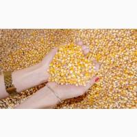 Закупляємо у сільгоспвиробників кукурудзу