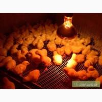 Суточные цыплята бройлеры КООБ 500. Индюшата. Цыплята. Яйцо инкуб. Утята. Гуси
