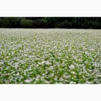 Гречка насіння сорт ВОЛЯ 1ша репродукція органічного високоурожайного сорту