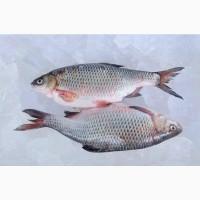 Купити рибу опт. Продаж річкової риби