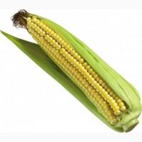 Закупаю кукурузу фуражную