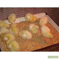 Бройлер суточный КОББ-500. Цыплята. Несушка. Гуси. Утята. Индюшата. Инкуб. яйцо