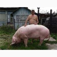 Запліднення свинок
