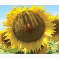 Насіння соняшника ЛГ 50300 Круїзер ( LG 50300)