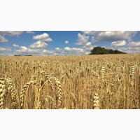 Закупаем пшеницу ГОСТ