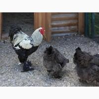Брама Темная инкубационное яйцо и цыплята