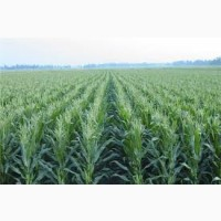 Закупаем кукурузу фуражную. Качество ДСТУ