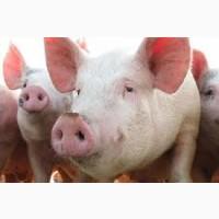 Свиньи живым весом цена