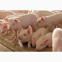Продам мясных поросят с комплекса ОПТ