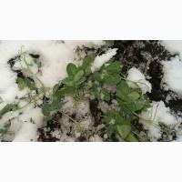 НС Мороз 1 репродукцыя горох