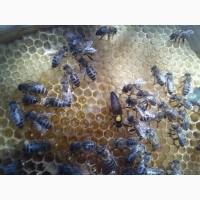 Бджоломатки - Карпатской породи - Вучковского типу Доставка по Україні