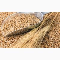 Закупка зерновых. Зерновые куплю