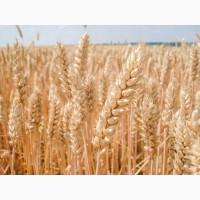 Пшениця Шестопаловка 1 Репродукция и Элита