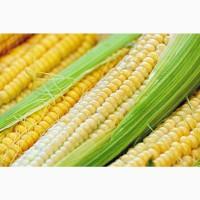 Купую фуражну кукурудзу