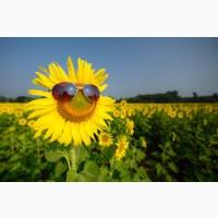 Купимо соняшник. Купуємо насіння соняшнику олійного