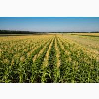 Купляємо вологу кукурудзу, від 20 тонн