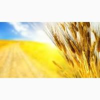 Закупаем пшеницу 2-4 класс