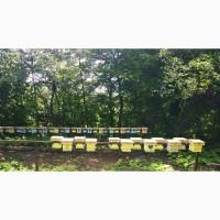 Бджоломатки пчеломатки